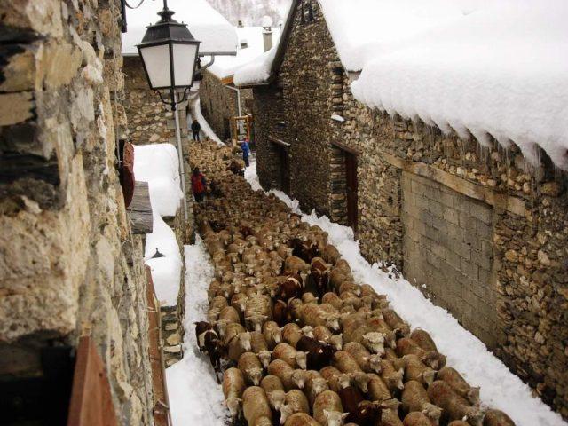 Echapée de moutons dans Besse !